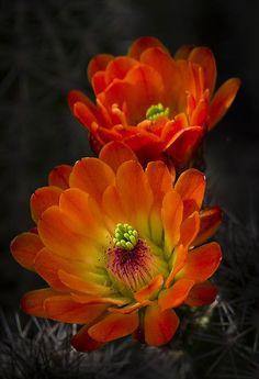 Hedgehog Cactus → For more, please visit me at: www.facebook.com/jolly.ollie.77
