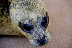 Harbour seal, pic by Charli Corcoran
