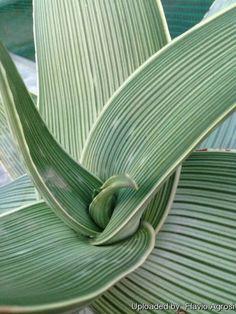 Aloe striata subs. karasbergensis