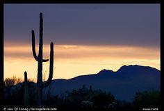 Saguaro cactus silhouetted at sunset. Organ Pipe Cactus  National Monument, Arizona, USA