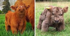 When thinking about adorable little furballs we might imagine a kitty, a fox or even a panda. There is, however, a breed of cows whose babies are as adorable and as heart-melting as the charming creatures mentioned above. Introducing Highland cattle.