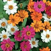 Zinnia Profuson Series Mixed. Window box plant. Click image to add to your lists and to get care advice.    Other names: Zinnia Profuson Series Mixed, Zinnia x hybrida Profuson Series Mixed, Zinnia elegans Profuson Series Mixed, Zinnia angustifola Profuson Series Mixed  Profuson Series Mixed are compact, erect annuals with slightly hairy, linear to lance-shaped, mid-green leaves and single or semi-double, orange, bright pink, red or white flowers in summer.