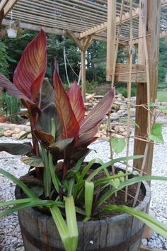 Potting A Canna Lily – Caring For Cannas In Containers