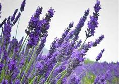 What Does lavender Seedlings Look Like - - Yahoo Image Search Results
