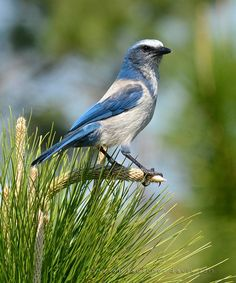Florida Scrub-Jay perches atop a very young pine tree. This one is banded, many are as this bird is (and has been) studied intensely.