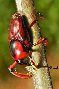 Escarabajo Bamboo Weevil (Cyrtotrachelus longimanus, Curculionidae) / Verdaderamente una criatura increíble - de colores vivos, físicamente fuertes, grandes dimensiones y un espectáculo para la vista en pleno vuelo. / Pu'er, Yunnan, China