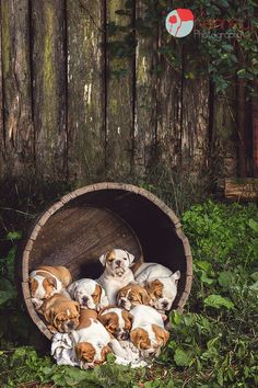 Adorable bulldog puppies!! Follow us on Facebook: www.facebook.com/...
