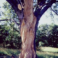 ..risanamento Quercus (quercia)