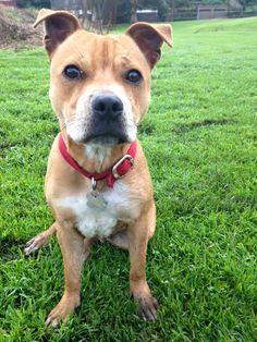 Woody Staffordshire Bull-terrier | Pawshake Hurlstone park