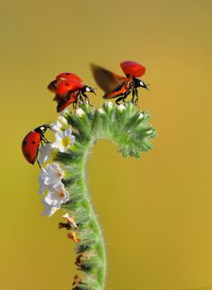 .Lovely ladybugs...