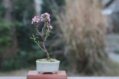ニワウメのミニ盆栽  超ミニ盆栽のブログ