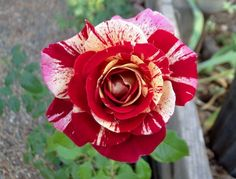 'All American Magic' rose
