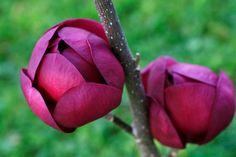 Magnolia BLACK TULIP kwiaty jak tulipan 50-70cm C2