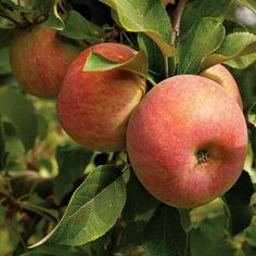 Honey Crisp apples invented at the University of Minnesota
