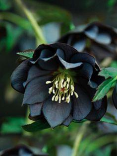 Blue Sky Nursery // Perennials // Helleborus 'ONYX ODYSSEY' (Winter Jewels)