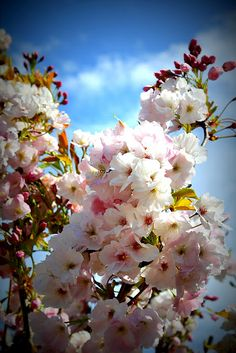gorgeous cherry blossoms!