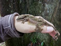 Kuhl's Flying Gecko (Ptychozoon kuhli) - The flaps on either side of its body, its toes and its flattened tail enables it to glide for short distances. Nature is amazing! Photo by Hock Ping Guek