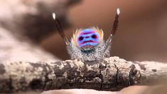 A Colorful Peacock Spider Dances to 'Y.M.C.A.' by the Village People