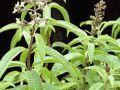 Alojzia citrónová, Citrónová verbéna Verbena, Plants, Uruguay, Plant, Planets
