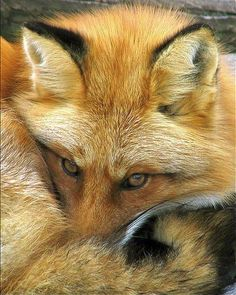 A very well tucked Red Fox ♥