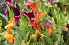 Dividing Calla Lilies – How And When To Divide Callas