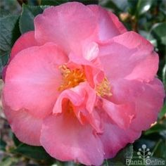 Camellia sasanqua 'Roseann'. Semi-double rich pink blooms above large glossy foliage. Lovely hedge, specimen plant, or in a tub on the deck. #flowering #hedging
