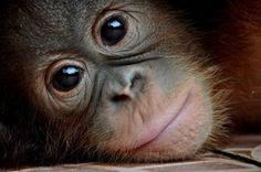 Borneo Orangutan Photo by wiwik astutik — National Geographic Your Shot Borneo Orangutan, Baby Orangutan, Cute Baby Animals, Animals And Pets, Funny Animals, Primates, Beautiful Creatures, Animals Beautiful, Most Endangered Animals