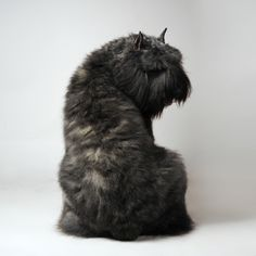 Bouvier DesFlandres - Personality Dog Photographer | The McCartneys Dogs