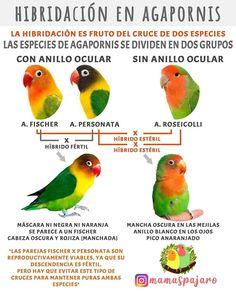 African Lovebirds, Budgies, Parrots, Bird Aviary, Love Birds, Pet Birds, Pets, Amor, Ideas