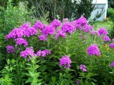 Old fashioned phlox - sweetly scented and generously multiplying!