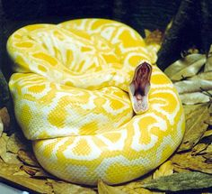 Yellow snake 3 Albino Burmese Python by Denise McQuillen Amazing Colorful Snakes Most Beautiful Venomous Snakes of the World Cool Snakes, Colorful Snakes, Beautiful Snakes, Most Beautiful Animals, Beaux Serpents, Serpent Animal, Types Of Snake, Burmese Python, Largest Snake