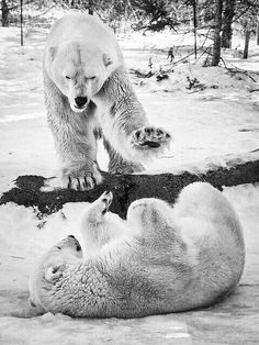 #polar #bear #blackandwhite #Olympus