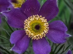 Pulsatilla eye ... by bjcowles #nature #photooftheday #amazing #picoftheday