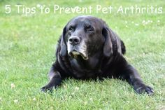 5 Tips to Prevent Pet Arthritis #pet #dog #cat #health #petcare Dog Separation Anxiety, Dog Anxiety, Anxiety Tips, Labrador Puppies For Sale, Dogs And Puppies, Puppy Barking, Dog Ages, Labrador Retriever Dog, Sleeping Dogs
