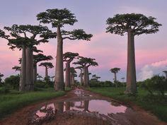 deathorbs:  Baobabstree