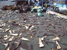 Shark fin soup ban takes effect Monday - San Jose Mercury News