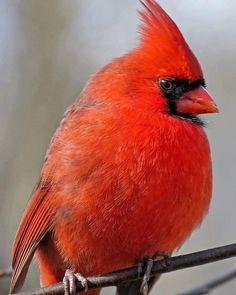 Pretty Birds, Cardinals, Red, Animals, Beautiful Birds, Animales, Animaux, Animal, Animais