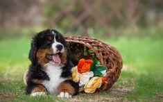 Berner Sennenhund, puppy, basket, pets, sennenhund, dogs, cute animals, Bernese Mountain Dog, Berner Sennenhund Dog