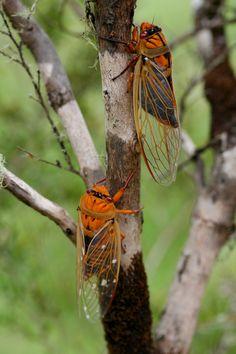 Orange Cicadas - Mid NSW Aust. By Marg McCulloch