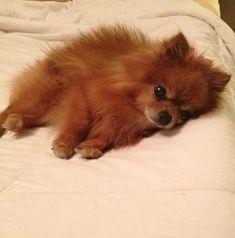 sad pomeranian dog