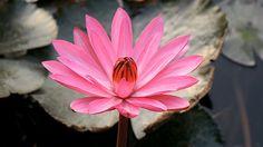 Lotus Blossom 01