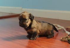 Havashu Puppy 12 Days - Havanese/Shitzu - Agate Bay Havanese Shih Tzu Puppy, Havanese, 12 Days, Agate, Puppies, Dogs, Animals, Baby Shih Tzu, Cubs