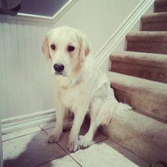 Charlie, sitting on the step, patiently waiting for her walk Patiently Waiting, Waiting For Her, Labrador Retriever, Dogs, Animals, Labrador Retrievers, Animais, Animales, Animaux