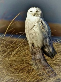 Snowy Owl at Presque Isle State Park in Erie, Pennsylvania by Dave Bowser