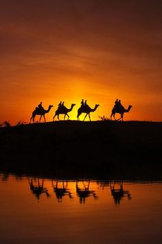 Camels at Desert, Pushkar, India These amazing beasts are ubiquitous in   Rajasthan