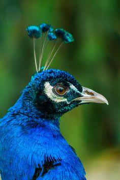 Peacock at Saltwell Park, Gateshead