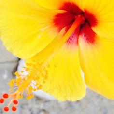 Hibiscus! #geel