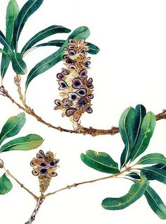 banksia seed pods watercolour on paper