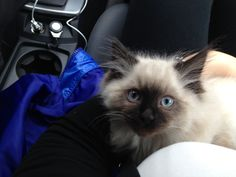 The co-driver-seat baby-cat