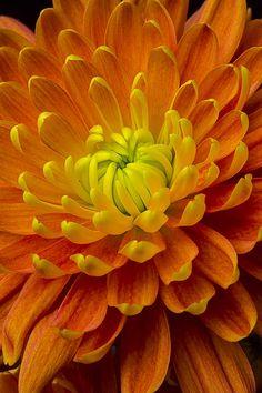 Orange Yellow Mum Photograph by Garry Gay